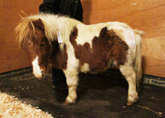 Brave wee Hamish, recovering from surgery for a broken pelvis, is hunkered down in his stable at the Horse Trust as storms lash the region. Photo: The Horse Trust