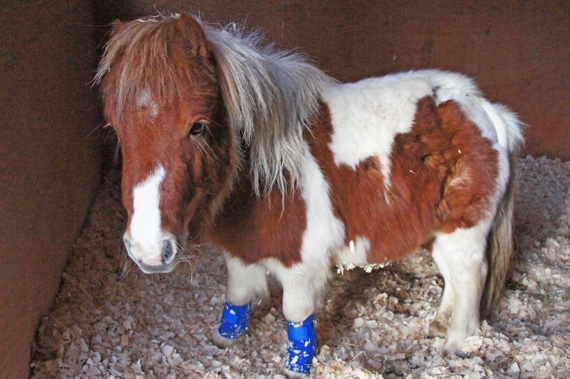 Hamish is looking forward to his new life with The Horse Trust in Britain. Photo: The Horse Trust