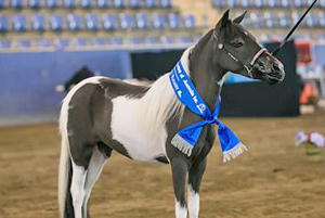 mini-horses1