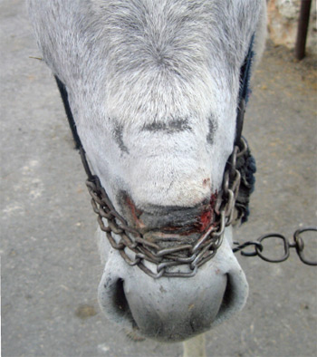 A donkey with a chain noseband, which has bitten into his flesh.
