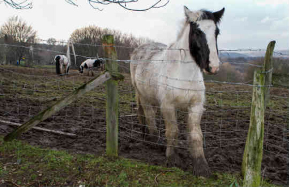 Charities believe a new law in Wales could push the problem of fly grazing across the border into England. Photo: World Horse Welfare