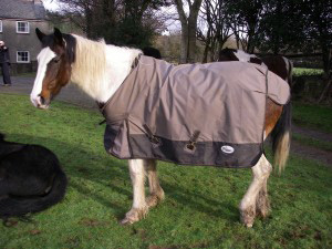 The mare taken into care in Wales. Photo: Welsh RSPCA
