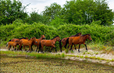 Retuertas horses are back enjoying their freedom in western Spain for the first time in 2000 years. Photo: Juan Carlos Muños Robredo / Rewilding Europe