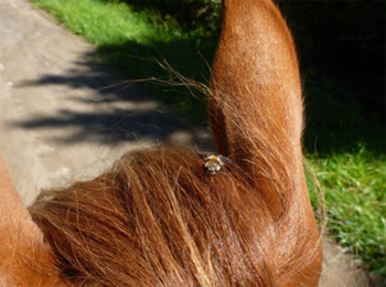 The best prevention against your horse catching Lyme Disease is thoroughly grooming your horse every day to assure that any embedded ticks are caught and removed early.