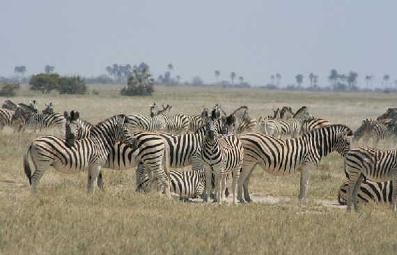 Zebra in the Makgadikgadi region of northern Botswana. Photo: Makgadikgadi Zebra Migration Research project