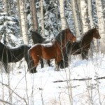 Wild horses in Alberta. Plans are afoot to remove 200 of the animals. Photo: Wild Horses of Alberta Society