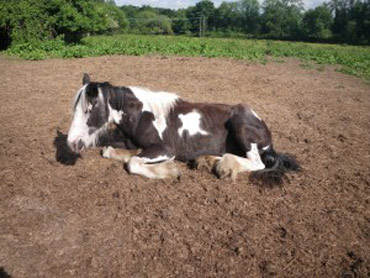 The poorly state of this mare from eating ragwort resulted in her being euthanised. Photo: British RSPCA