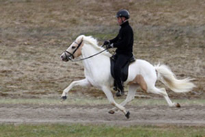 An Icelandic horse employs the  flying pace. The pacing horse moves the two legs on the same side of the body in unison. Photo: Freyja Imsland