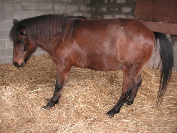 The laminitic mare was surrendered to the Irish SPCA and euthanized after a veterinary assessment. Photo: ISPCA.