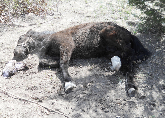 Tethering death: This Shetland pony was euthanized due to multiple injuries suffered when he became tangled in his tether rope. Photos: Parker County Sheriff's Office.