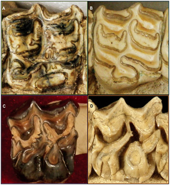"""Representative teeth of each group: (A) Hipparionini, (B) Equini, (C) """"Merychippini,"""" and (D) """"Anchitheriini."""" Each has a distinct enamel pattern; the patterns decrease in complexity from A to D."""
