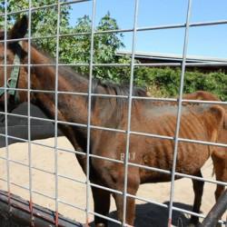 Australian woman cops $11,000 fine in horse welfare case