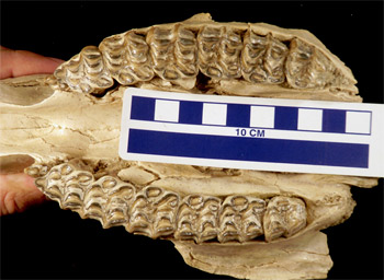 Teeth in the skull of a horse (genus Neohipparion) found near Valentine, Nebraska. The skull dates to 13 million to 16 million years ago.