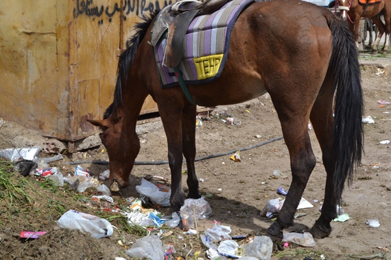A horse near Cairo picks among rubbish in the hopes of finding food.