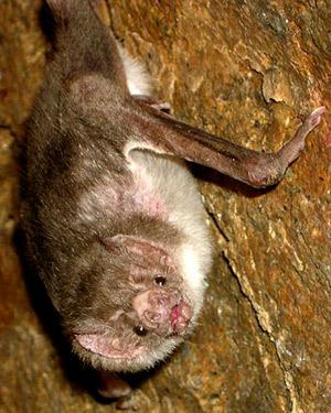 Vampire bat - Desmodus rotundus.