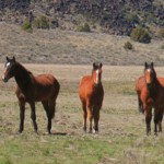 Culling had bigger effect on wild horses than contraceptive, say researchers