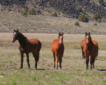 wild-horses-USDA-article