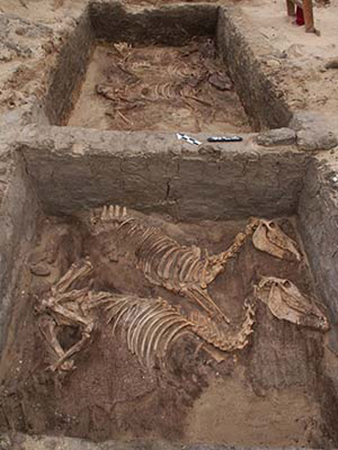One of the markers of domestication is a reduction in size, but archeological evidence indicates size decreases were slow and inconsistent. Donkeys buried 5000 years ago in this early pharaonic mortuary complex have proportions similar to those of the African wild ass, but the bones of domesticated donkeys found at another, much older site are significantly smaller than those of wild asses. Photo: Stine Rossel/PNAS