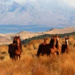 Charity hails support for NZ wild horses following muster