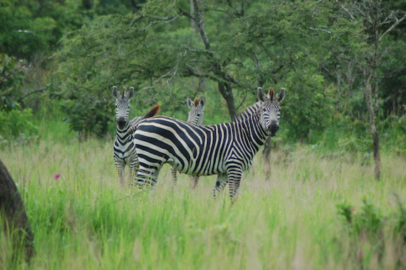 Scientists at the University of California, Davis, have learned why zebras, like these plains zebra in Katavi National Park, Tanzania, have stripes. Photo: Tim Caro/UC Davis