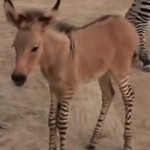 Zonked out: Zebra-donkey hybrid born at Mexican zoo