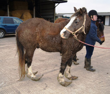 Jerry on arrival into the care of HorseWorld. Photos: HorseWorld
