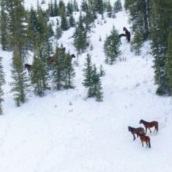 Go-ahead for genetic study into Alberta's wild horses