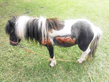 The dragged pony has wounds to his left side and may lose an eye. He is now in the care of the Houston SPCA.