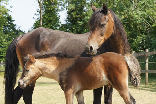 Mrs Tweedy and her foal Harlequin were part of a major rescue we carried out last year in Caerphilly.