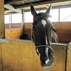 Horses stabled alone show signs of stress, study shows
