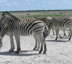 New zebra migration route discovered