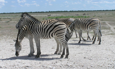 Zebras have been found to migrate more than 300 miles in a north-south direction across Botswana. Photo: World Wildlife Fund