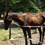 Dixie Boy at the time he was taken into care by authorities in Florida. He was passed into the care of Hope Equine Rescue in Auburndale. He has since gained 91 pounds in four weeks and is pictured below.