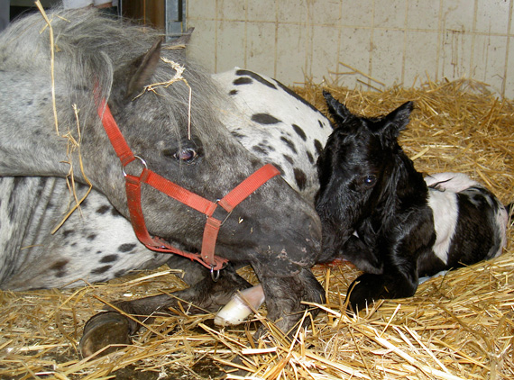 Foaling appears to cause the opposite of a stress response. Photo: Vetmeduni Vienna