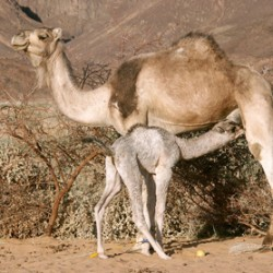 Camel found to be infected with equine flu virus
