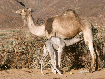 The equine flu virus is able to jump to camels, say researchers. Photo: Garrondo/Wikipedia