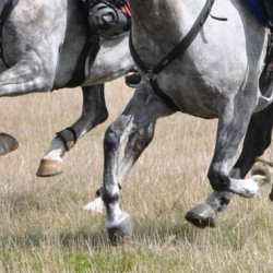 Inflammatory biomarker in racehorses assessed by Polish researchers