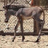 California zoo welcomes Grevy's zebra colt foal