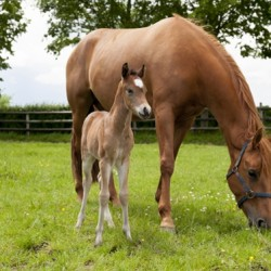 Four foals from frozen embryos successfully selected for sex