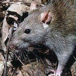 Common brown rat (Rattus norvegicus).