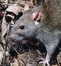 Common brown rat (Rattus norvegicus).