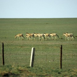 Railway fence hems in Mongolia's migratory wild asses