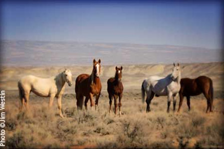 Wild horses of the Great Basin.