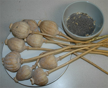 Dried poppy seed pods and seeds.