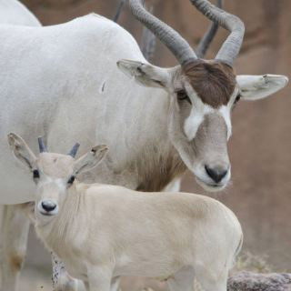 New baby addax Elsa, with her mum, Fola.
