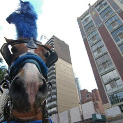 New film to delve into New York's carriage horse issue