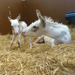 The tiny colt with his proud mum, Summer, aged 3. Photo: The Donkey Sanctuary