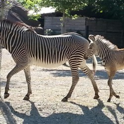 Grevy's zebra filly Makena takes first public steps