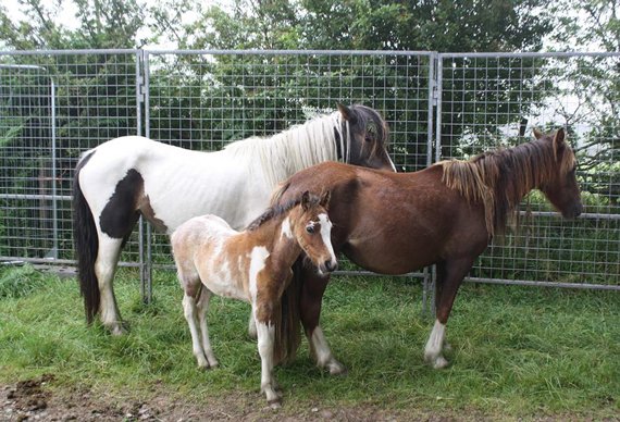 Three of the Monmoel Common horses bound for a new home. Phot: Caerphilly Borough Council