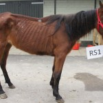 Polly shortly after her arrival at The Horse Trust.